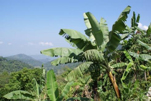 banana_plants